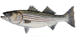 striped_bass01
